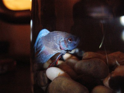 jFish in his early days enjoying his IKEA tank.